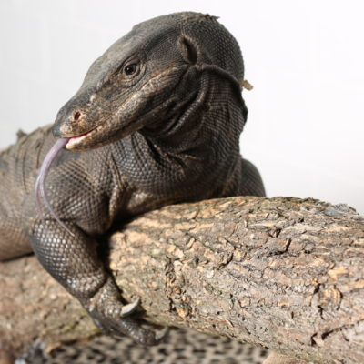Black Dragon Lizard